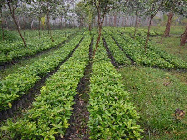 Caffe-Nero-Coffee-Plantation-Rows