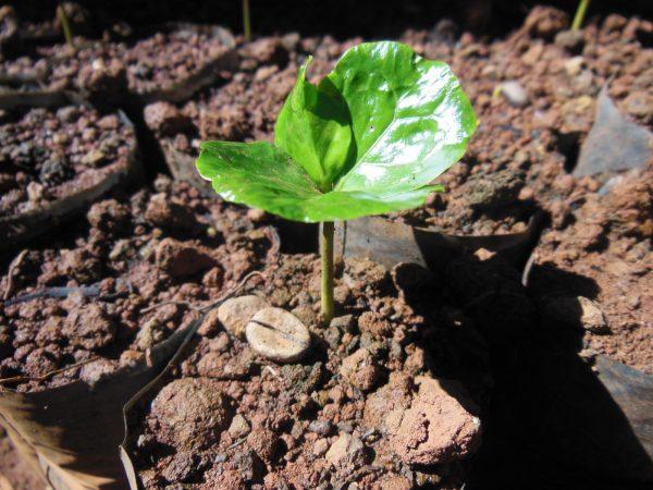 Caffe-Nero-Coffee-Plant-Shoot